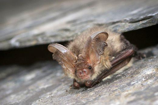 Brown-long-eared-bat-(c)-Tom-Marshall-7.jpg