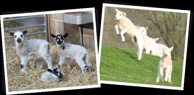 spring-lambs-1.png